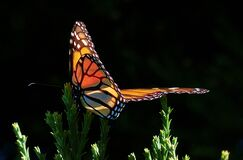 Monarch Butterfly.FZ200 Stock Photography