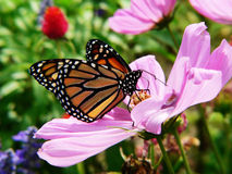 Monarch butterfly in garden. Monarch butterfly in blooming garden Royalty Free Stock Image