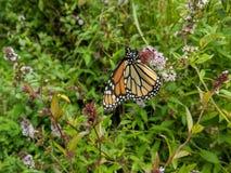 Monarch butterfly garden. Beautiful monarch butterfly in Summer royalty free stock image