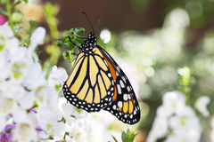 Monarch Butterfly in Garden 3 stock images