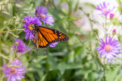 Monarch Butterfly in Garden. On Purple Flowers Selective Focus with Copy Space royalty free stock image