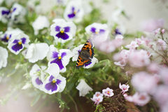 Monarch butterfly in garden. Monarch butterfly sitting on the flowers in the  garden Stock Images