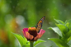Monarch butterfly in the garden on spring Stock Photography