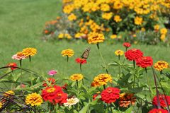 Monarch butterfly in the gardens at the park. Butterfly in the colorful Zinnia flowerbed at Highland Park, in Rochester, New York royalty free stock image