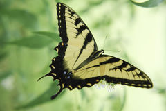 Tiger Swallowtail Butterfly Gathering Nectar Stock Images
