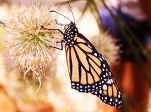 Monarch Butterfly. Getting feed from flower Royalty Free Stock Photo