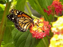 Monarch Butterfly. Getting feed from flower Stock Photo