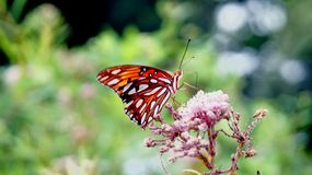 Monarch Butterfly Getting Nectar from a Milkweed Flower. A monarch butterfly perched on the flower of a milkweed plant in Arkansas. Light-green, out-of-focus royalty free stock photo