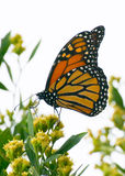 monarch butterfly getting nectar from yellow flower Stock Photo