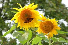 Monarch Butterfly at Giant Sunflowers stock photography