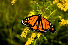 Monarch. A monarch butterfly on goldenrod flowers stock photo