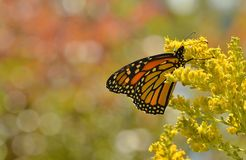 Monarch butterfly on goldenrod Sheldon Lookout Humber Bay Shores Park. A monarch butterfly in profile feeds on lush flowers of goldenrod at Sheldon Lookout in Stock Photo