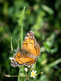 Monarch Butterfly. In green grass stock images