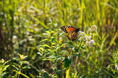 Monarch butterfly in a green meadow. Monarch butterfly sitting on a wildflower, in a green meadow Stock Photo