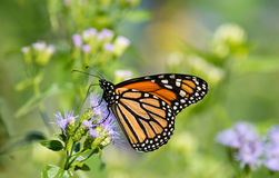 Monarch butterfly on Greggs Mistflowers Royalty Free Stock Photos