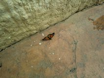 Monarch butterfly on the ground stock image