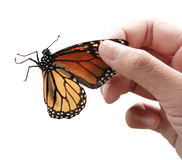 Monarch Butterfly and hand Royalty Free Stock Images