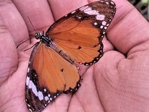 A Monarch butterfly on hand. An orange Monarch butterfly is sitting in the hand with its wings wide open stock image