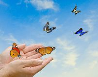 Monarch butterfly in hands. Monarch butterfly flying from hands stock photography