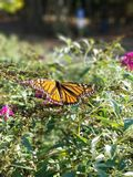Monarch Butterfly drinking from Butterfly Bush flowers with Rocks - Danaeus plexippus. Monarch butterfly hanging from the blooms of a butterfly bush seeking royalty free stock image