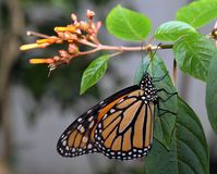 Monarch butterfly on a plant. Monarch butterfly hanging on a leaf stock images