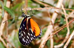 Monarch Butterfly. A Monarch Butterfly hangs onto a twig with its delicate legs. It's black, white and orange wings are folded royalty free stock photos