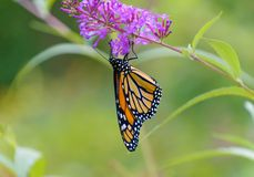 A Monarch butterfly hangs upside down. A monarch butterfly, Danaus plexippus, hangs upsiide down while feeding from a sprig of butterfly bush flower with a pale royalty free stock photography