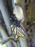 Monarch Butterfly. A monarch butterfly has hatched and leaves its chrysalis royalty free stock images
