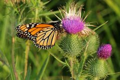 Monarch butterfly on thistle. This monarch butterfly has landed on a cursium vulgare - also known as the bull thistle, spear thistle, or simply common thistle Stock Photos