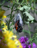 Monarch Butterfly Hatching Royalty Free Stock Photography