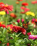 Monarch Butterfly in Heirloom Zinnias. A Monarch Butterfly feeds in my heirloom Zinnia garden on a summer day royalty free stock images