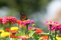 Monarch Butterfly in Heirloom Zinnias. A Monarch Butterfly feeds in my heirloom Zinnia garden on a summer day royalty free stock photography