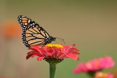 Monarch Butterfly in Heirloom Zinnias. A Monarch Butterfly feeds in my heirloom Zinnia garden on a summer day stock images
