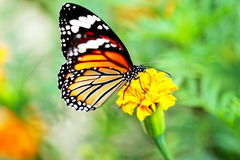 Monarch Butterfly holding on yellow flower. Stock Images