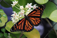 Monarch Butterfly on Hoya Flower. Monarch Butterfly is on blooming Hoya flower, Hawaii royalty free stock image