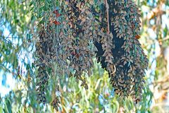 Monarch Butterfly cluster ball. Monarch Butterfly huge clustered in the morning at Santa Cruz Natural Bridge State Beach royalty free stock images