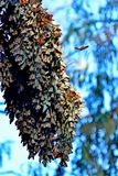 Monarch Butterfly Huge long cluster Royalty Free Stock Photography