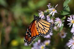 Monarch Butterfly II 2018 royalty free stock photo
