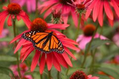 Free Monarch Butterfly In Soft Focus Coneflower Garden Stock Image - 225265661