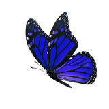 Monarch butterfly isolated. Beautiful blue monarch butterfly isolated on white background Royalty Free Stock Photo