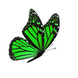 Monarch butterfly isolated. Beautiful green monarch butterfly isolated on white background Royalty Free Stock Photo