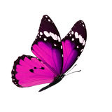 Monarch butterfly isolated. Beautiful pink monarch butterfly isolated on white background Stock Images