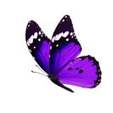 Monarch butterfly isolated. Beautiful purple monarch butterfly isolated on white background Stock Images