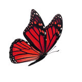 Monarch butterfly isolated. Beautiful red monarch butterfly isolated on white background Royalty Free Stock Photography