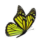 Monarch butterfly isolated. Beautiful yellow monarch butterfly isolated on white background Stock Image