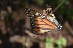 Monarch butterfly in the wild royalty free stock photo