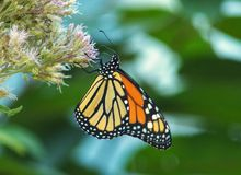 Monarch butterfly on joe pye weed. Close up detailed profile view of monarch butterfly on joe pye weed royalty free stock photos