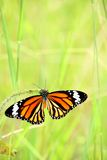 Monarch butterfly is joying with his food. With grass background stock photos