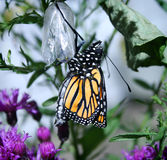 Monarch Butterfly Just Hatched Stock Photography