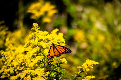Monarch Butterfly. This monarch butterfly landed on some wild ragweed royalty free stock photo